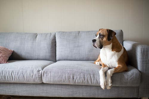 How To Remove Dog Urine Smell From Couch Carpet